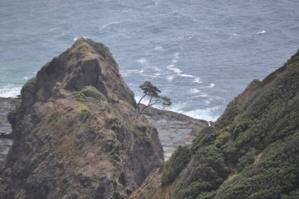Cap Reinga, l'arbre Pohutukawa, âgé de plus de 800 ans / Photo @Koyolite Tseila